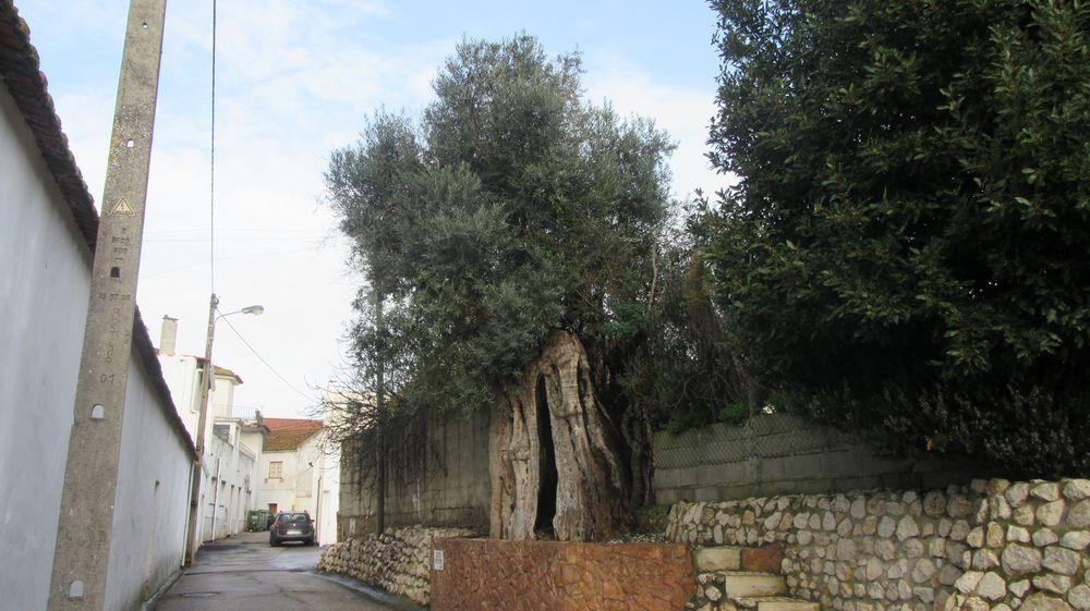 Oliveira secular